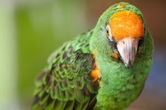 Gräsplan och orange papegoja Royaltyfria Bilder