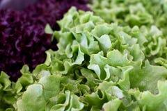Gräsplan och röda nya lockiga grönsallatsidor Royaltyfria Foton