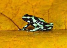 Gräsplan- och svartgift kasta sig grodan, Costa Rica Royaltyfri Foto