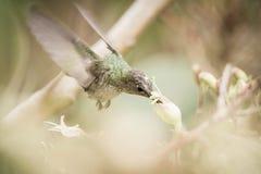 Gräsplan-och-vit kolibri i Cuzco, Peru arkivfoton