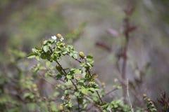 Gräsplan omogna dewberries royaltyfri foto