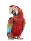 Gräsplan-påskyndad Macaw, Arachloropterus, årig 1 arkivfoton