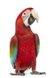 Gräsplan-påskyndad Macaw, Arachloropterus, årig 1 arkivbilder