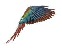 Gräsplan-påskyndad Macaw, Arachloropterus, årig som 1 flyger arkivfoto