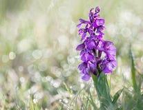 Gräsplan-påskyndad orkidé och dagg Arkivfoto