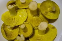Gräsplan plocka svamp i platta Arkivfoto