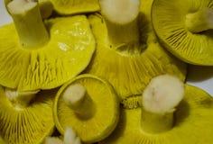 Gräsplan plocka svamp makro Royaltyfri Fotografi
