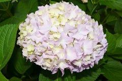 Gräsplan-rosa färger hortensia Arkivbilder