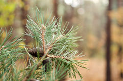 Gräsplan sörjer filialen med kottar i höstskogen Arkivbild