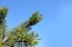 Gräsplan sörjer filialer i den blåa himlen royaltyfri bild