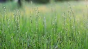 Gräsplan spirade groddar arkivfilmer