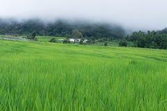 Gräsplan terrasserad Rice sätter in i Chiang Mai, Thailand Arkivbild