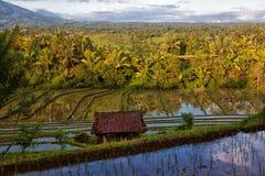 Gräsplan terrasserad risfält i Bali, Indonesien Fotografering för Bildbyråer