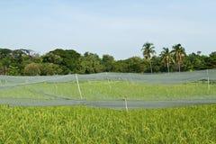 Gräsplan terrasserade risfält Royaltyfri Fotografi