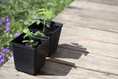 Gräsplan unga plantatomater Arkivfoton