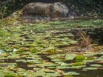 Gräsplan vadderar lilly att sväva i ett lugna damm arkivbilder