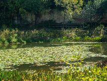 Gräsplan vadderar lilly att sväva i ett lugna damm royaltyfri foto