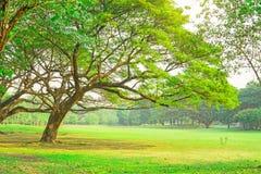 Gräsplanen lämnar filialer av det stora regnträdet som täcker på gräsmatta för grönt gräs under molnig himmel, träd på bakgrund arkivfoto