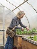 Gräsplaner för kvinnaplockningsallad i Sunny Greenhouse Arkivfoto