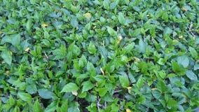 Gräsplaner i trädgård Arkivfoton