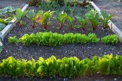 Gräsplaner som växer i gemenskapträdgård Arkivbilder