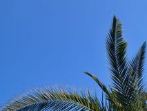 Gräsplanfilialer av datumet för kanariefågelön gömma i handflatan mot en ljus blå himmel royaltyfri foto