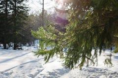 Gräsplanfilialer av det prydliga trädet Snöa dolda solbelysta nya gröna prydliga trädfilialer och visare Arkivfoto