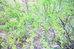 Gräsplanfilialer av en buske Royaltyfri Fotografi