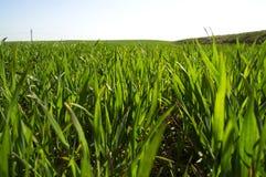 Gräsplanforsar av vårvete Arkivbild