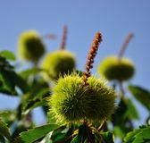Gräsplanfrukter av kastanjen på trädet bland sidor Arkivbilder