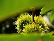 Gräsplanfrukter som täckas av ryggar av det kastanjebruna trädet Royaltyfri Fotografi