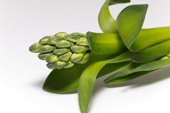 gräsplanknoppar av blomman av hyacintet på vitbakgrund Fotografering för Bildbyråer