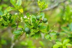 Gräsplanlimefrukter på ett träd Limefrukt är en hybrid- citrusfrukt, som är typisk rund, omkring 3-6 cm i diameter och arkivbilder