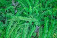 Gräsplanormbunken för den bästa sikten lämnar modeller den stora gruppen på bakgrund, dekorativ växt för kruka royaltyfri fotografi