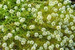 Gräsplansidagolv med små blommor Arkivfoto