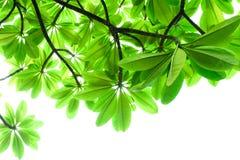 Gräsplansidaram på vit bakgrund, blad på träd Fotografering för Bildbyråer