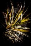 Gräsplansidor av dracaenamarginataväxten bland rök royaltyfri fotografi