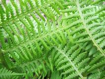 Gräsplansidor av en ormbunke Royaltyfri Foto