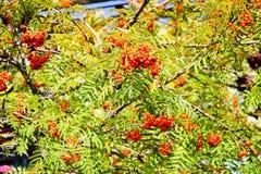 Gräsplansidor av ett träd med bär, rönnfrukt, sommarträd Naturliga fester Strålarna av solen faller på ojämna sidor arkivfoto