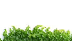 gräsplansidor av ormbunken på vit Fotografering för Bildbyråer