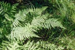 Gräsplansidor av ormbunken under sommarsolen Royaltyfria Foton