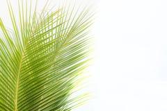 Gräsplansidor av palmträdet som isoleras på vit bakgrund royaltyfri foto