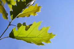 Gräsplansidor av quercusrubraen mot blå himmel royaltyfri foto