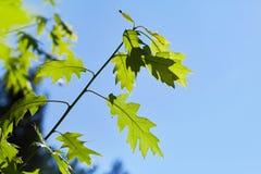 Gräsplansidor av quercusrubraen mot blå himmel royaltyfria foton