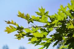Gräsplansidor av quercusrubraen mot blå himmel royaltyfri fotografi