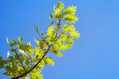 Gräsplansidor av quercusrubraen mot blå himmel royaltyfri bild