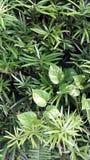 Gräsplansidor bildar en bakgrund med smala sidor och philodendronen som tillfogar komplexitet Royaltyfria Foton
