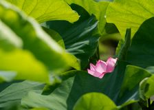 Gräsplansidor och en lotusblommablomma Royaltyfria Foton