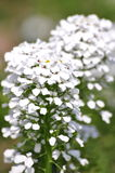 Gräsplansidor och vita blommor Royaltyfri Bild