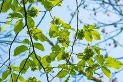 Gräsplansidor på ett almträd Royaltyfria Foton